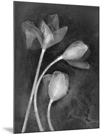 Tulipanes-Moises Levy-Mounted Photographic Print