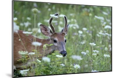 Young Buck-Robert Goldwitz-Mounted Photographic Print
