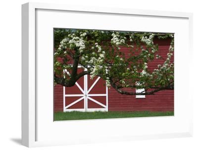 Spring Blossoms Red Barn-Robert Goldwitz-Framed Photographic Print
