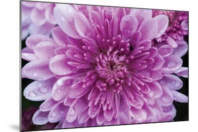 Purple Mum II-Erin Berzel-Mounted Photographic Print