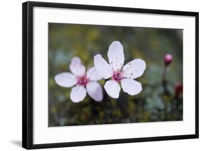 Portland Cherry Blossom 2-Erin Berzel-Framed Photographic Print