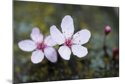 Portland Cherry Blossom 2-Erin Berzel-Mounted Photographic Print