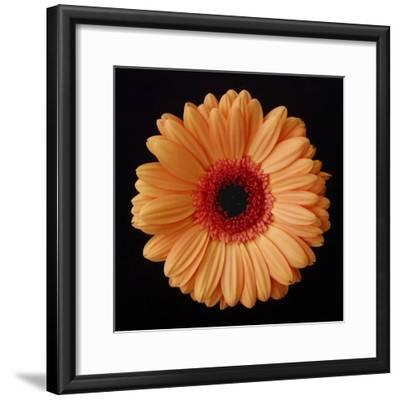 Orange Gerber Daisy-Jim Christensen-Framed Photographic Print
