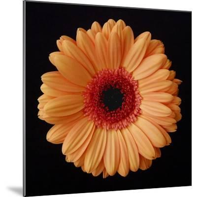 Orange Gerber Daisy-Jim Christensen-Mounted Photographic Print