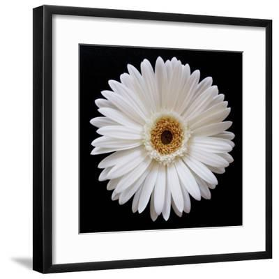 White Gerber Daisy-Jim Christensen-Framed Photographic Print