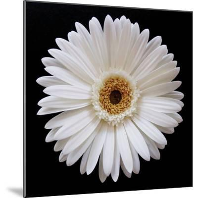 White Gerber Daisy-Jim Christensen-Mounted Photographic Print