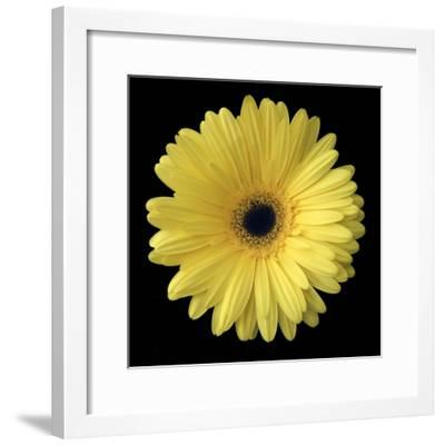 Yellow Gerbera Daisy-Jim Christensen-Framed Photographic Print