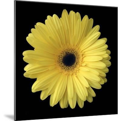 Yellow Gerbera Daisy-Jim Christensen-Mounted Photographic Print