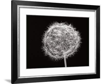 Dandelion 1-Jim Christensen-Framed Photographic Print
