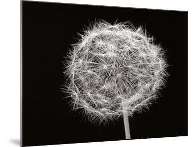 Dandelion 1-Jim Christensen-Mounted Photographic Print