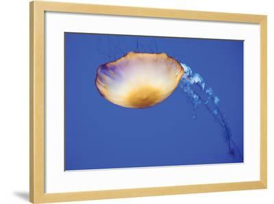 Jellyfish V-Erin Berzel-Framed Photographic Print