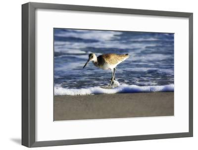 Sandpiper in the Surf III-Alan Hausenflock-Framed Photographic Print