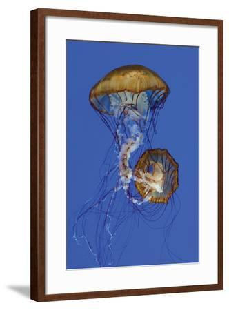 Jellyfish II-Erin Berzel-Framed Photographic Print