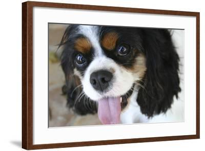 King Charles Spaniel-Karyn Millet-Framed Photographic Print