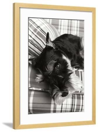 Schnauzer Black and White-Karyn Millet-Framed Photographic Print