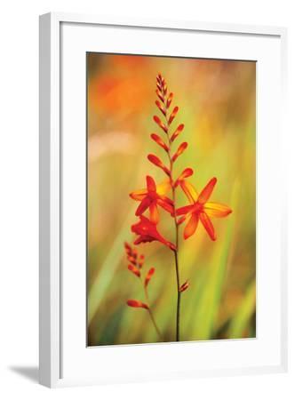 Emberglow Crososmia I-Bob Stefko-Framed Photographic Print