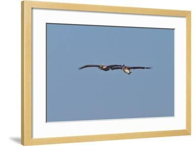 Pelicans in Flight I-Lee Peterson-Framed Photographic Print