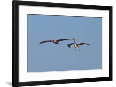 Pelicans in Flight II-Lee Peterson-Framed Photographic Print