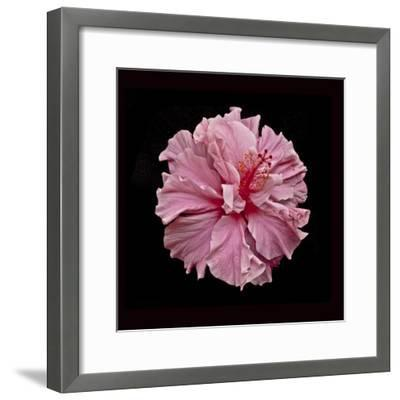 Pink Hibiscus-Lee Peterson-Framed Photographic Print