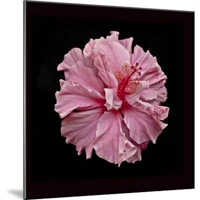 Pink Hibiscus-Lee Peterson-Mounted Photographic Print