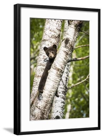 Bear Cub in Tree II-Beth Wold-Framed Photographic Print
