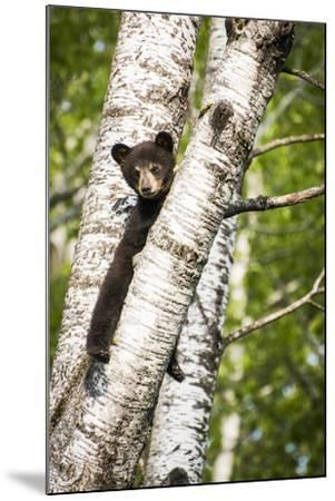 Bear Cub in Tree II-Beth Wold-Mounted Photographic Print