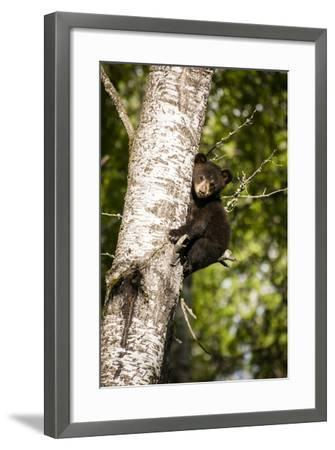 Bear Cub in Tree IV-Beth Wold-Framed Photographic Print