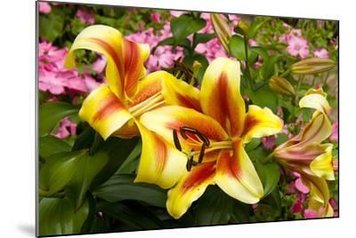 Yellow Lilies-George Johnson-Mounted Photographic Print