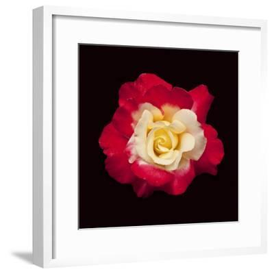 Red and White Rose-Lee Peterson-Framed Photographic Print