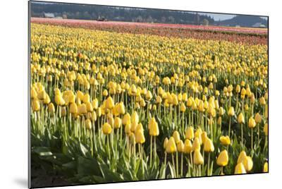 Yellow and Orange Tulips II-Dana Styber-Mounted Photographic Print
