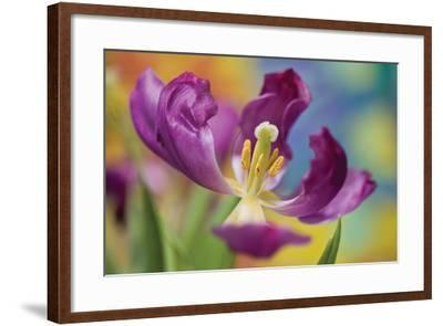Purple Tulip I-Lee Peterson-Framed Photographic Print