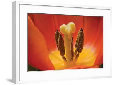 Tulip Up Close I-Lee Peterson-Framed Photographic Print