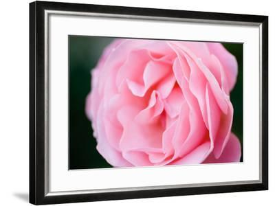 Pink Rose III-Beth Wold-Framed Photographic Print
