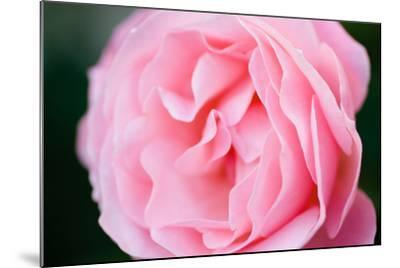 Pink Rose III-Beth Wold-Mounted Photographic Print
