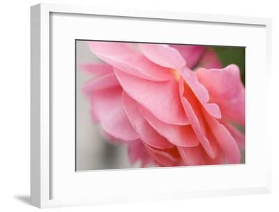 Pink Rose II-Beth Wold-Framed Photographic Print