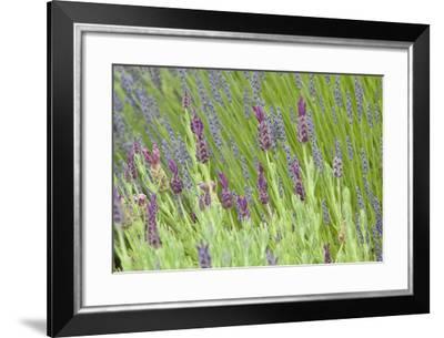Lavender Sway I-Dana Styber-Framed Photographic Print
