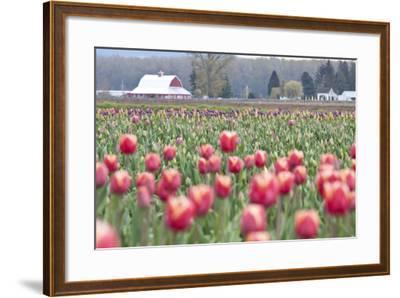 Tulip Homestead-Dana Styber-Framed Photographic Print