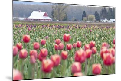 Tulip Homestead-Dana Styber-Mounted Photographic Print