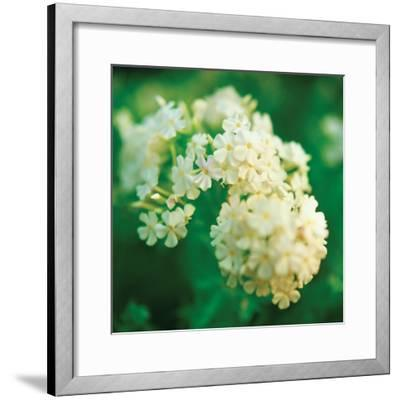 Chinese Snowball-Bob Stefko-Framed Photographic Print