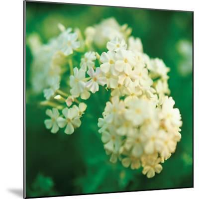 Chinese Snowball-Bob Stefko-Mounted Photographic Print