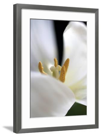 White Tulip-Tammy Putman-Framed Photographic Print