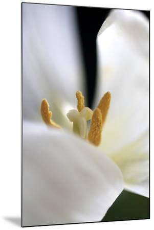 White Tulip-Tammy Putman-Mounted Photographic Print