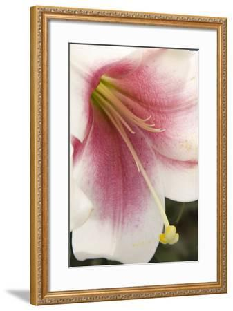Soft Pink Lily II-Maureen Love-Framed Photographic Print