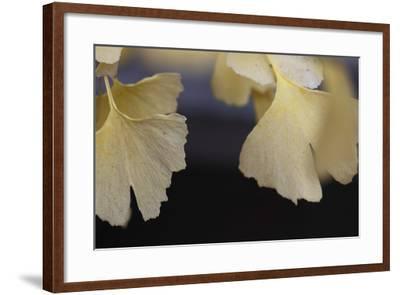 Autumn Gingko IV-Rita Crane-Framed Photographic Print