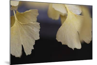 Autumn Gingko IV-Rita Crane-Mounted Photographic Print