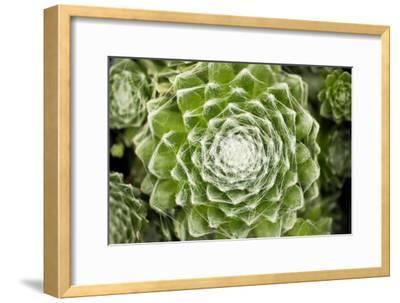 Arachnoideum Succulent I-Erin Berzel-Framed Photographic Print