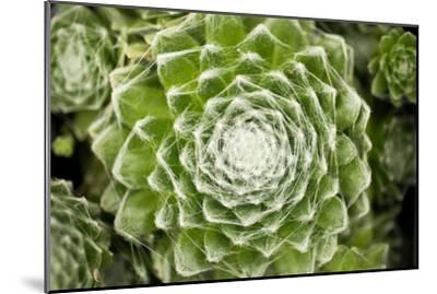Arachnoideum Succulent I-Erin Berzel-Mounted Photographic Print