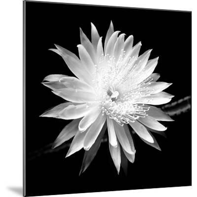 Queen of the Night BW II-Douglas Taylor-Mounted Photographic Print