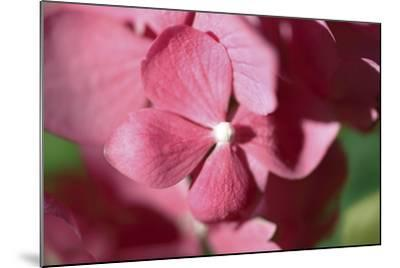 Pink Hydrangeas I-Rita Crane-Mounted Photographic Print