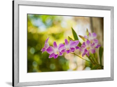 Thai Orchids-Erin Berzel-Framed Photographic Print
